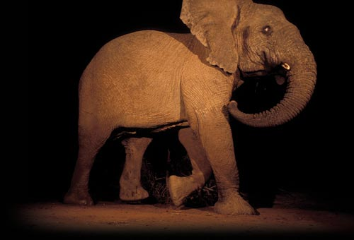 An elephant photographed at night. He's caught in mid-stride, two legs raised. His tusks are broken off. A lone flash illuminates him. Relative to the frame, he is enormous, too large even to fit within it.