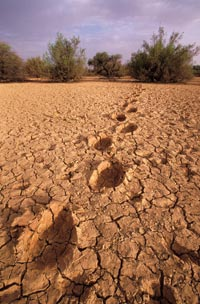 Baked-mud ground, thick with fissures, recedes into the distance, where a few scrubby trees stand. Enormous footprints have dried into the ground.