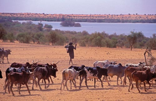 Skinny, hump-backed cattle follow a herder across a flat, dusty expanse. Ahead of them is a lake ringed by low trees.