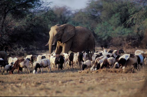 An elephant surrounded by, incongruously, dozens of goats. They all stand in a grassy clearing in a forest.