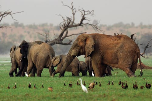 Half a dozen elephants walk through a marshy clearing. Nearby are dozens of duck-like birds, and a pair of snowy white egrets follow the elephants. Green grasses cover their feet.