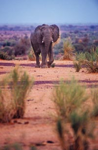 A distant elephant, with two nubbins of tusks, stares back at the photographer.