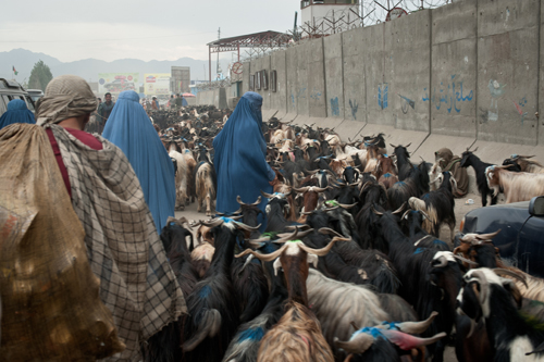 Afghan men and women herd a flock of hundreds of goats through the streets of downtown Kabul.