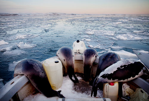 Seals draped over the side of a hunting vessel near Isortoq, East Greenland.