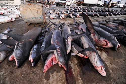 Piles of sharks lined up and awaiting auction on a dock off the Arabian Sea.