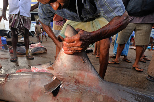 A Sri Lankan fisherman cuts the fin off a bull shark, taken by gillnet near the capital city of Colombo.