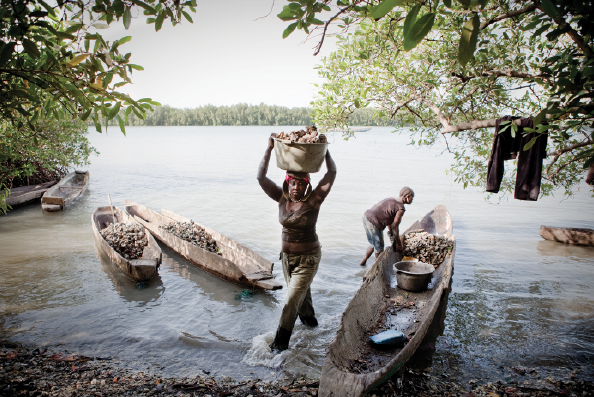 Female migrants from Guinea Bissau work along the shores of a tributary, collecting oysters that hang from the mangroves.