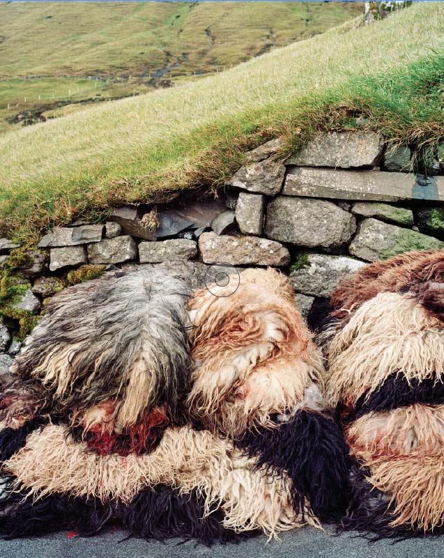 Sheepskins stacked during a slaughter in the village of Skælingur