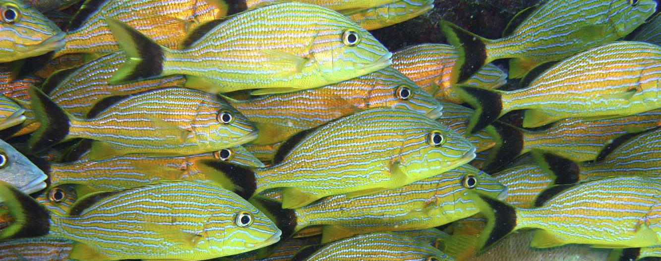 Grunts, as seen from Aquarius Undersea Laboratory, near Key Largo, Florida, 2006