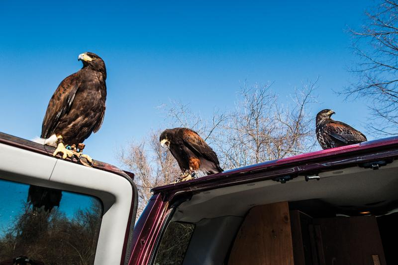 Chris Davis's three Harris's hawks, from left to right: 85, 55, and 47.