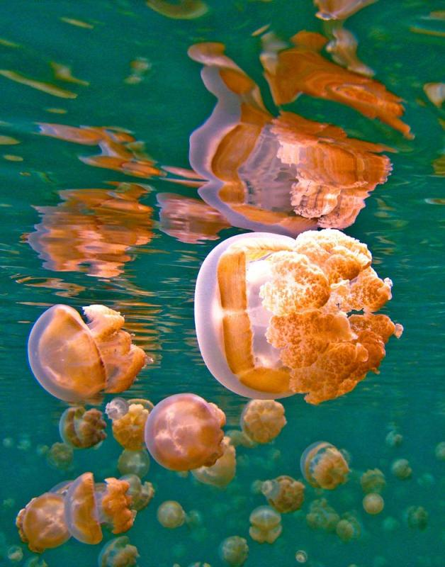 Jellyfish, Jellyfish Lake, Palau, 2009.