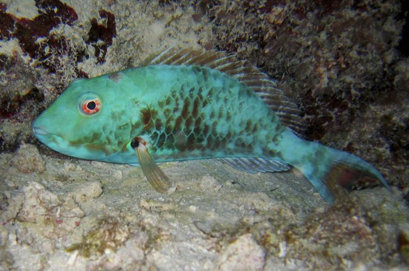 Parrotfish, Blackbird Caye, Belize, 2005.