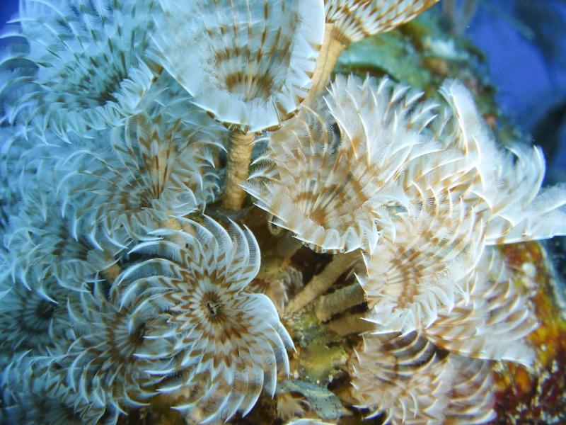 Feather duster worms, Blackbird Caye, Belize, 2004.