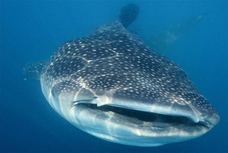 Whale shark, Gulf of Mexico, 2011.