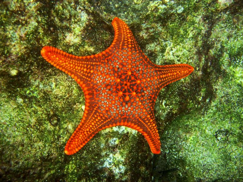 Sea star, Galapagos Island, Guy Fawkes Island, 2008.