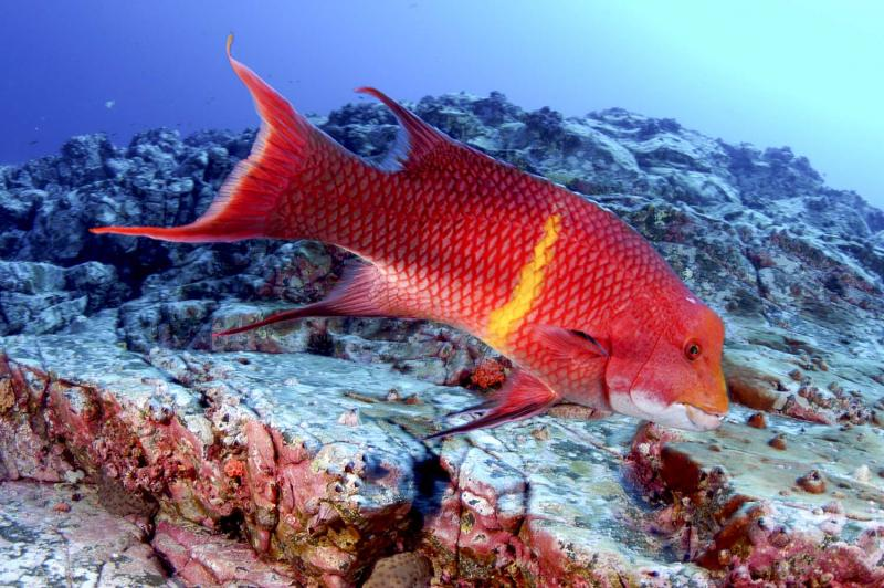 Red wrasse, Cocos Island, 2006.