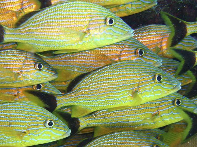 Grunts, as seen from Aquarius Undersea Laboratory, near Key Largo, Florida, 2006.