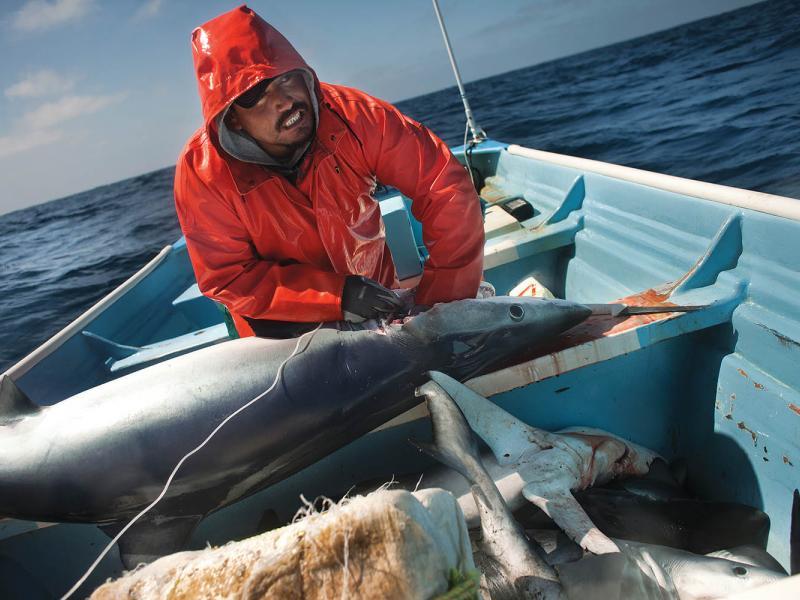 Fishing for blue shark near Baja California.