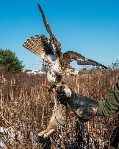 Eli, a red-tailed hawk, with his kill.